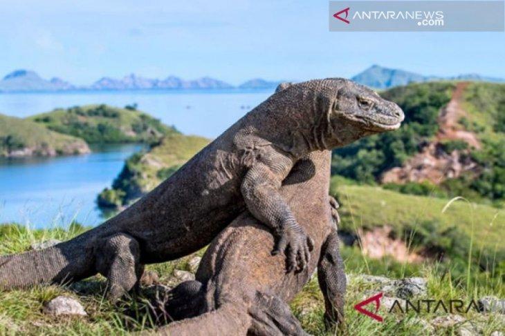 Penjualan paket wisata Pulau Komodo kembali normal
