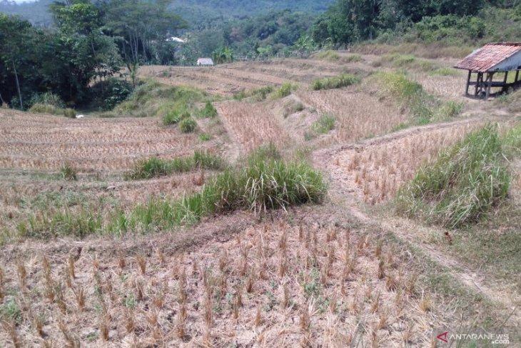 Ribuan hektare sawah di Karawang gagal tanam