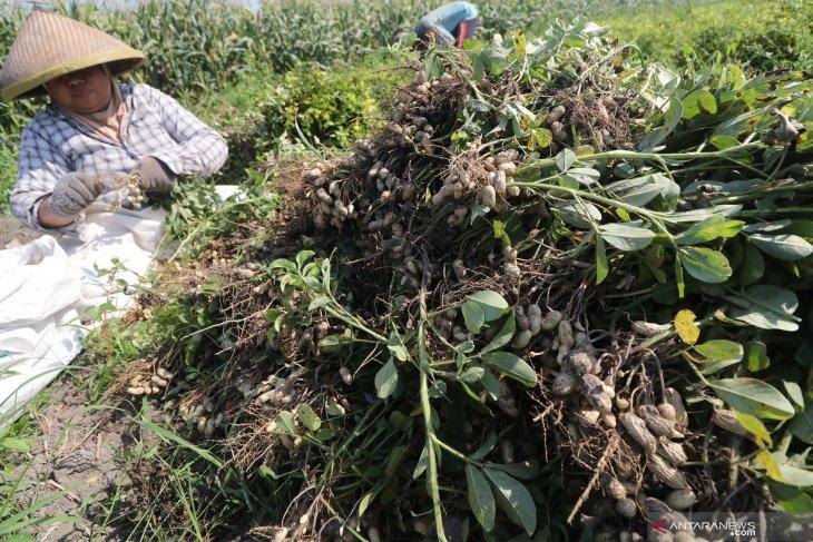 Panen kacang tanah