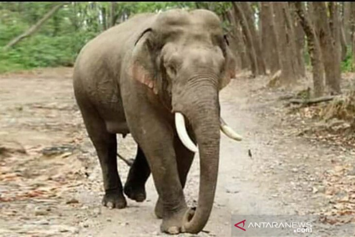 Human-elephant conflicts spike in Riau following forest fires