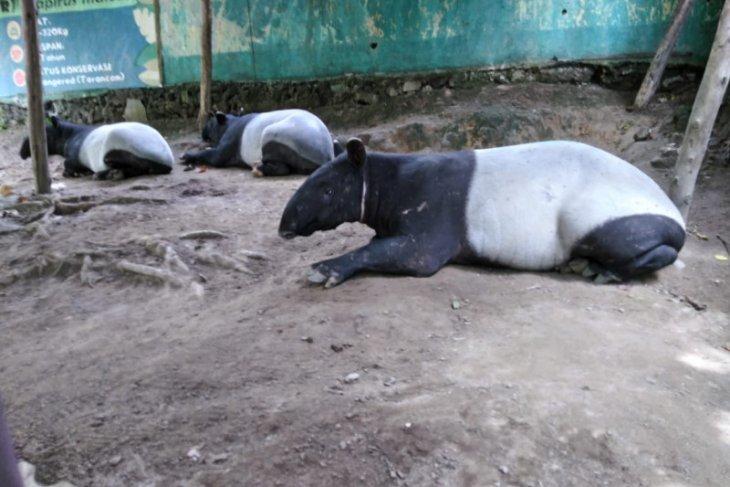Seekor tapir terjerat di TN Bukit Tigapuluh Riau