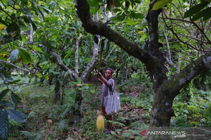 Permintaan ekspor kakao Ransiki meningkat