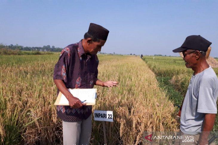 Musim kemarau berkah bagi petani yang miliki lahan rawa lebak