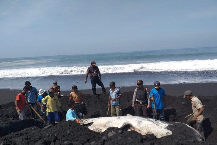 Dinas Perikanan Lumajang kubur bangkai paus yang terdampar di Pantai Kajaran