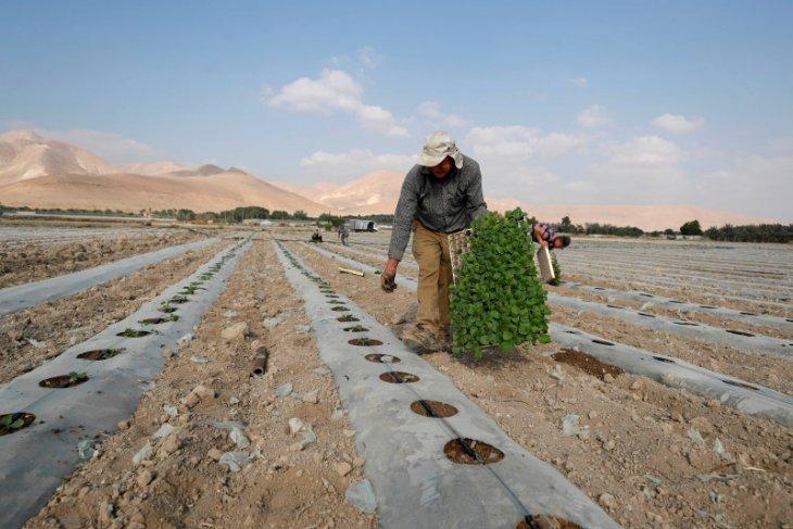 Petani Palestina diusir dari kebun zaitun mereka