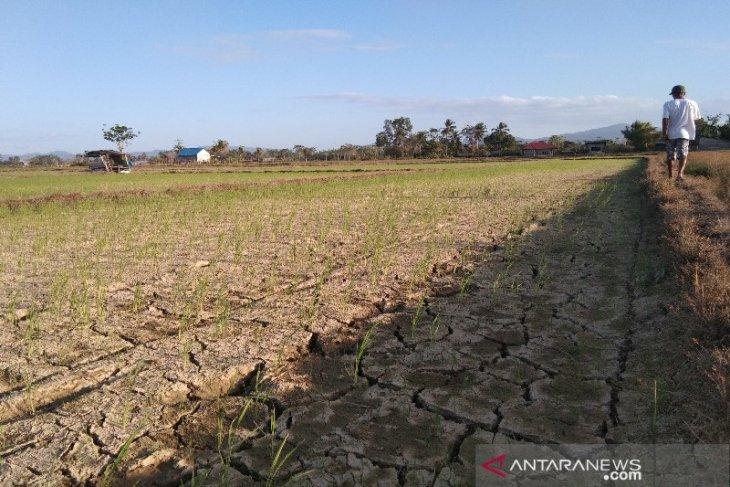 Seluas 50 hektare sawah di Ranomeeto kekeringan