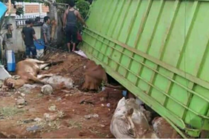 Truk bermuatan sapi terguling, tiga mati lainnya pingsan