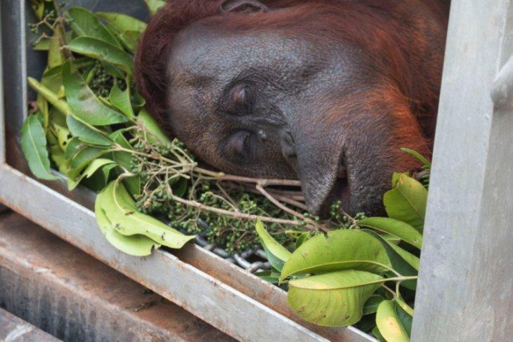 Dua orangutan berhasil diselamatkan di lokasi Karhutla Ketapang