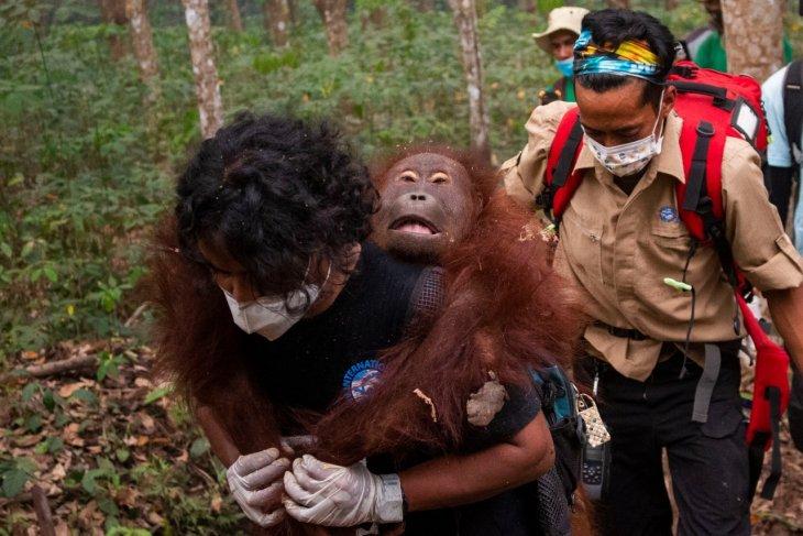 BKSDA Kalbar dan IAR Indonesia kembali menyelamatkan satu orangutan dampak Karhutla