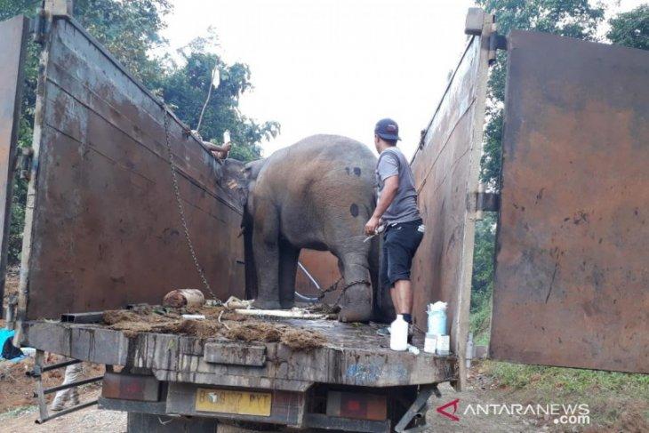 BKSDA Jambi antarkan tiga gajah  ke habitatnya setelah beberapa hari masuk kebun