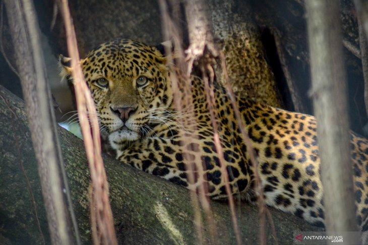 Anggaran kian menipis, Kebun Binatang Bandung korbankan rusa untuk pakan macan tutul
