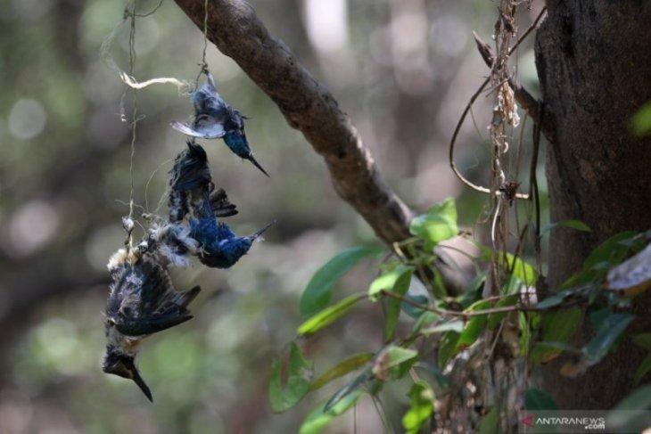 Burung-burung mati di mangrove Wonorejo Pantai Surabaya Timur