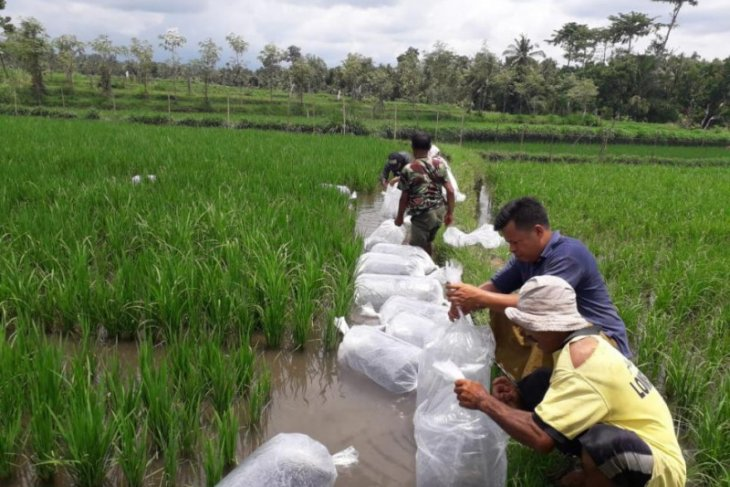 Petani Buleleng kembangkan mina-padi saat pandemi