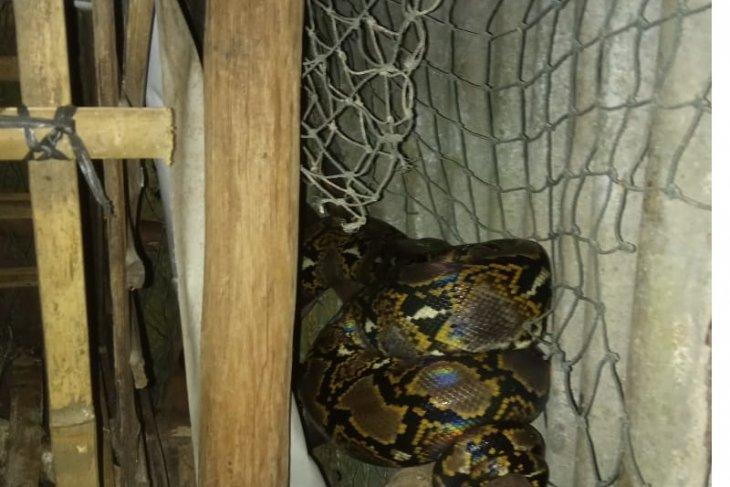 Damkar Kabupaten Belitung evakuasi ular piton dari kandang ayam