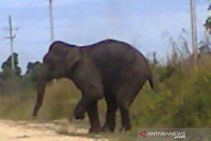 Balai Raja conservation area's Sumatran elephant population dwindles