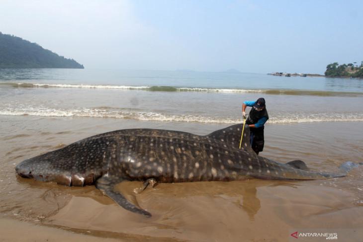 17 whales stranded on Sabu-Sabu Coast
