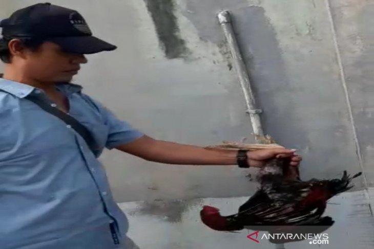 Polisi gerebek arena sabung ayam di Lingkar Selatan