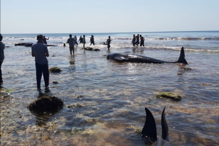 17 whale strandings recorded on Sabu Raijua Coast