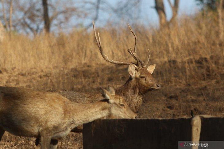 Musim Kemarau di Taman Nasional Baluran