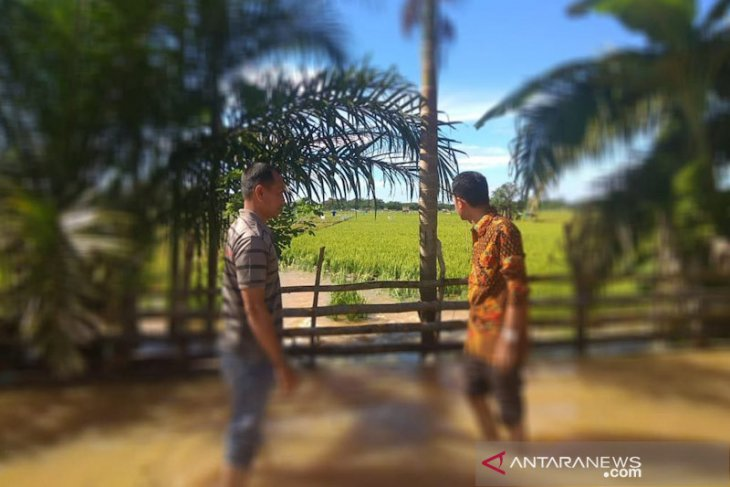 Terendam banjir ratusan hektare padi di Aceh jaya terancam gagal panen