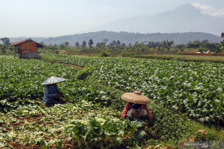 Sawi keriting di Pontianak naik menjadi Rp35.000 per kilogram