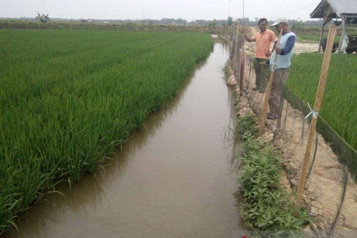 Petani di Mukomuko uji coba mina padi
