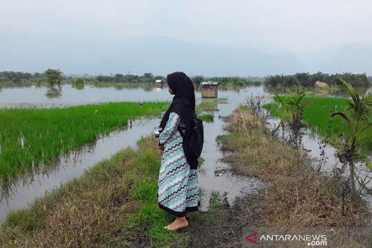 240 hektare sawah di Tapanuli Selatan terendam banjir, 6,5 hektare puso