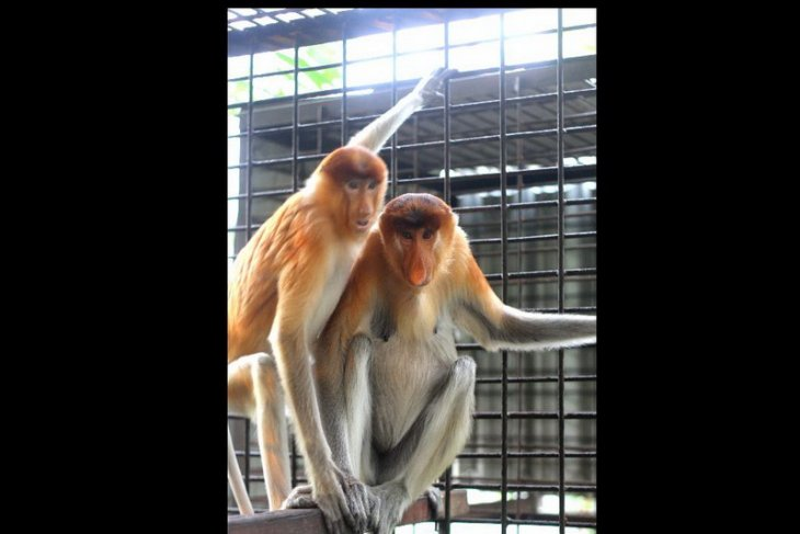 SBI team rescues endangered male proboscis monkey in South Kalimantan