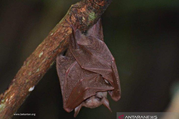 Researchers observe long-tongued megabats in Curiak Island