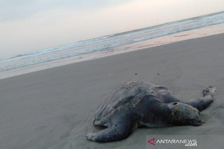 Dalam sepekan, empat ekor penyu mati di Teluk Sepang Bengkulu
