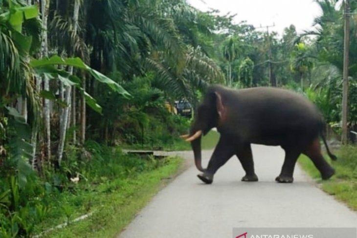 Gajah mengamuk dan rusak pagar masjid di pedalaman  Aceh Barat