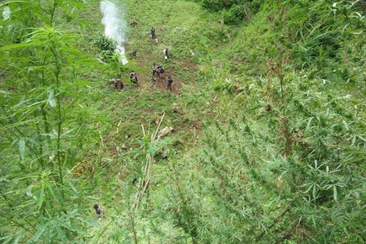 Polisi temukan 7 ha ladang ganja di Pegunungan Tor Sihite