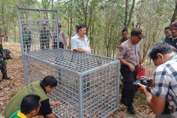 Sumatran tiger trapped in South Sumatra's Muara Enim District
