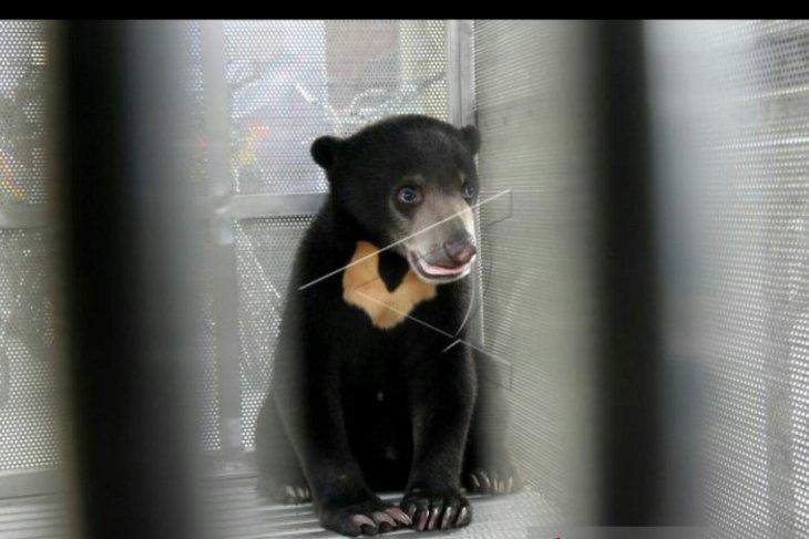 Seorang warga tewas diserang beruang madu di OKU