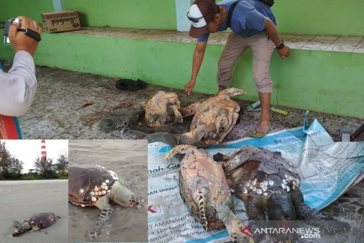 Ini penjelasan para pihak soal kematian 28 penyu di Bengkulu