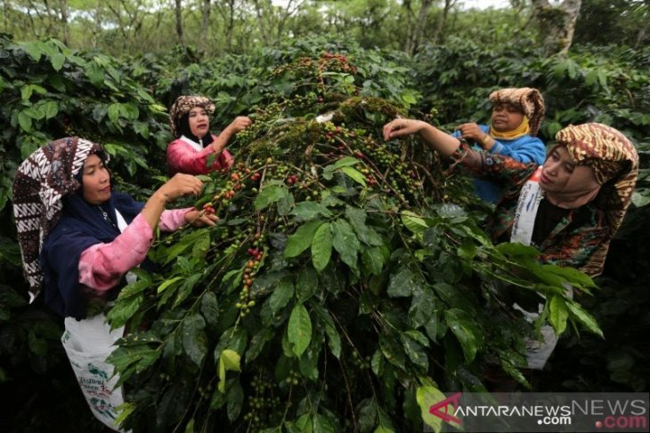 Masa panen puncak berlalu, harga kopi gayo mulai naik tipis