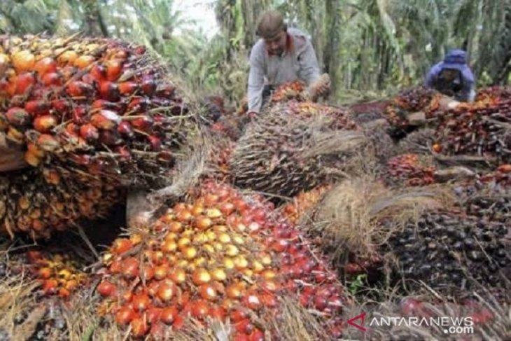 Harga CPO  Jambi naik Rp142 per kilogram
