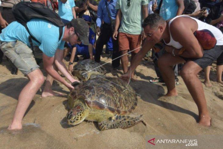 BKSDA lepasliarkan penyu di Pantai Kuta