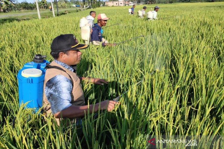 Basmi hama padi, petani Abdya lakukan penyemprotan massal