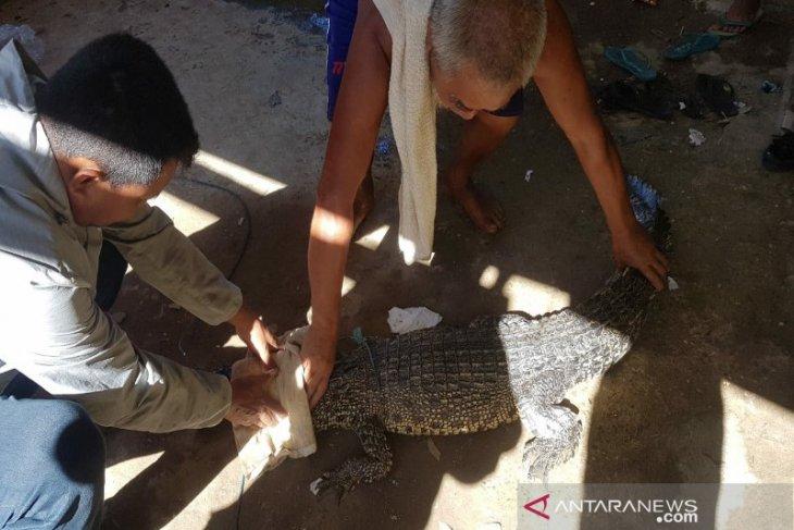 Warga tangkap buaya muara masuk di jaring nelayan