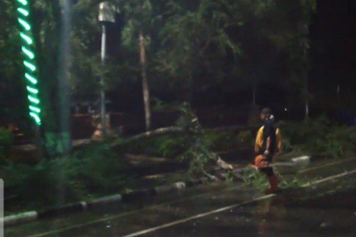 Banyak pohon tumbang akibat hujan lebat