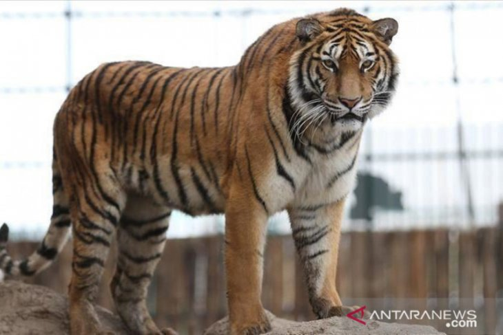 Sumatran Tiger seen roaming in Sriwijaya University's research area