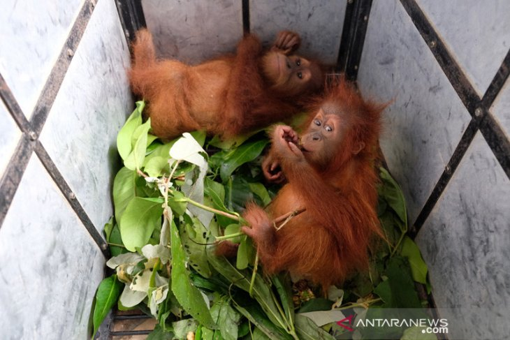 Akan dijual melalui media sosial, dua bayi orangutan disita petugas