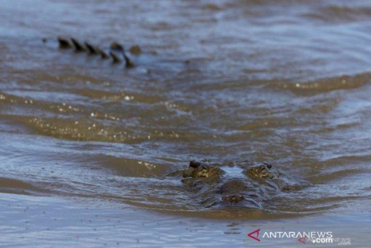 Pangkalbalam Port notifies ship crews of crocodile attacks