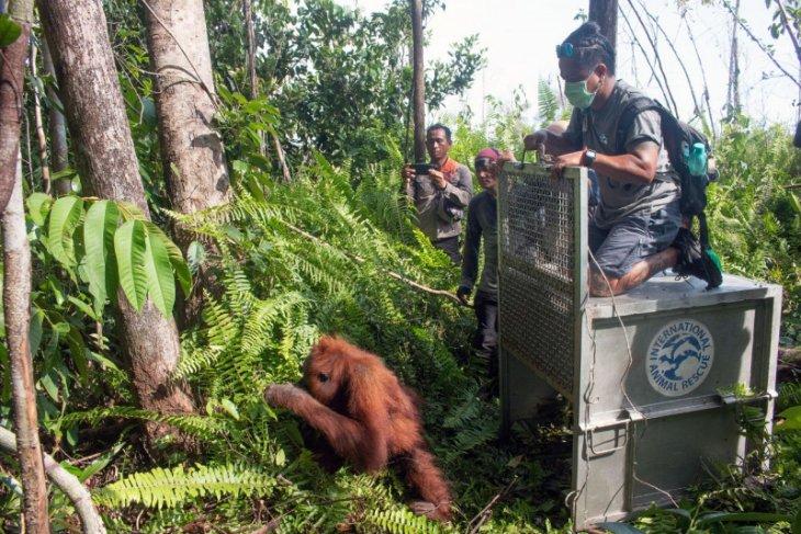 IAR Indonesia: Konflik manusia- dengan orangutan terus bertambah