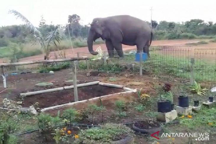 Gajah liar masuk pekarangan SD di Kabupaten Bener Meriah Aceh