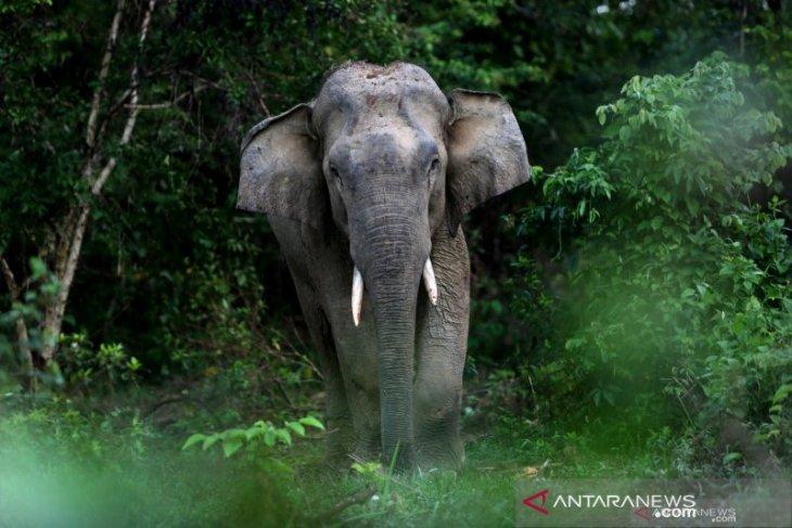 Seorang petani meninggal terinjak gajah liar yang ngamuk di area perkebunan