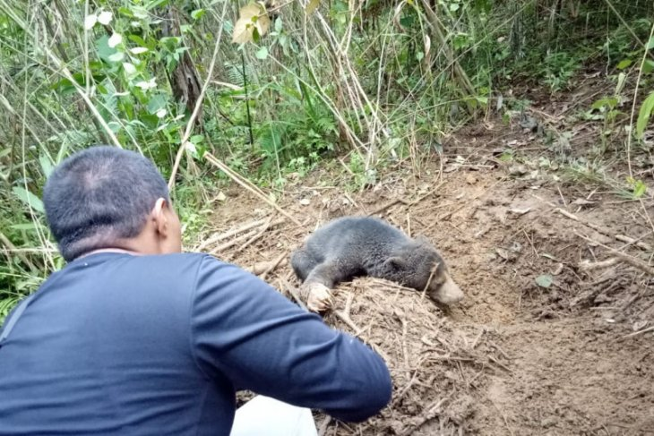 BKSDA Sumbar selamatkan seekor beruang madu yang kena jerat