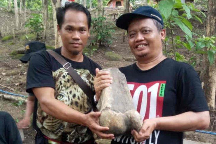 Fosil gajah purba yang ditemukan warga sempat ingin dijadikan batu akik