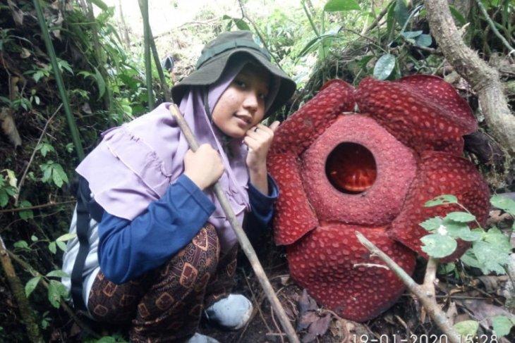 Dua bunga Rafflesia arnoldii mekar di sekitar Danau Maninjau